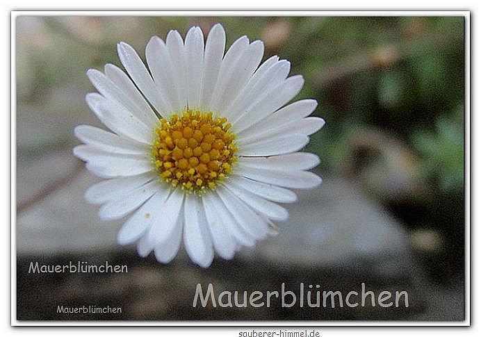 Mauerbluemlein