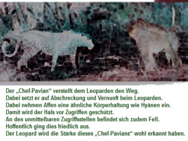 Chef-Pavian-als-Besch%C3%BCtzer